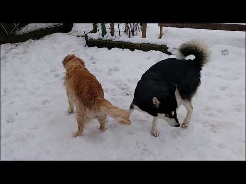 Alaskan Malamute and Golden Retriever out and about in the snow