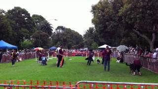 Flyball Competition (among Dogs) From Another View