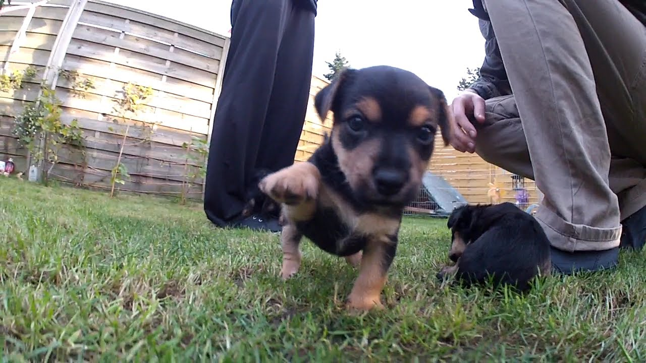 Yorkie Russell Puppies 5 Weeks Playing Outdoor Youtube