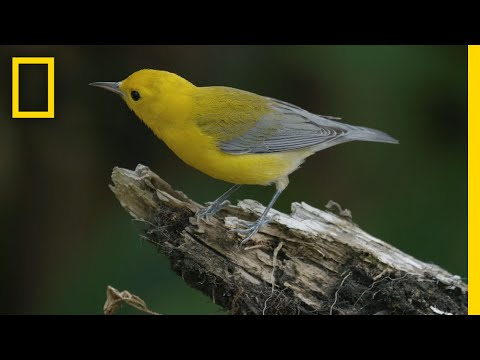 Feathers in Flight: The Bird Genoscape Project | National Geographic