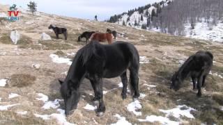 Velebitski konji u Veljači!