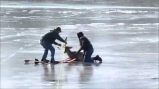 Stranded Deer Rescue On The Mississippi River