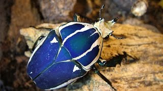 Mecynorrhina torquata ugandensis - breeding instructions part 1
