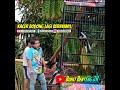 Kacer Iblis Spn Fokus Sangkar Bnr  Mp3 - Mp4 Download