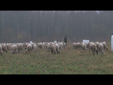 Фермер рассказал, почему выгодно заниматься овцеводством в Беларуси
