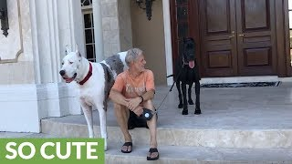 First day in new home for adopted Great Dane