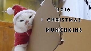 2016年クリスマスのマンチカン一家 Munchkin cats family includes 8 ca...