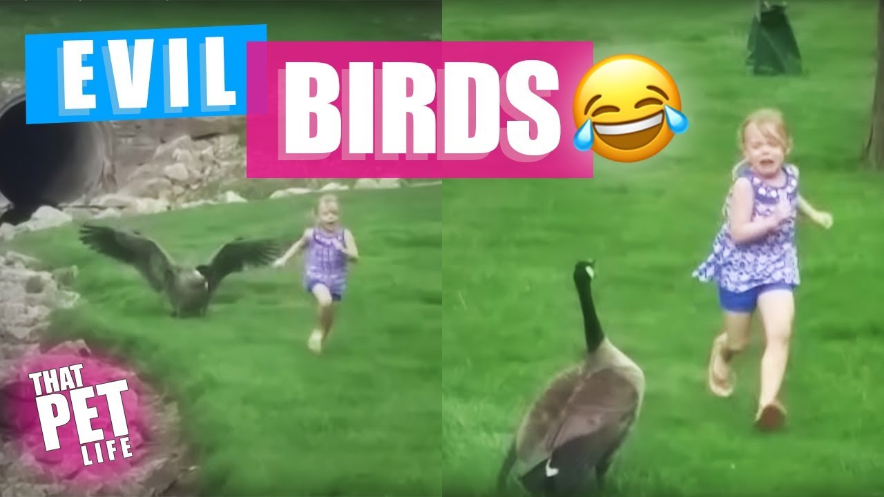Download Birds Are Evil | Try Not to Laugh Challenge - Funny Animal Compilation