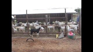 ஆட்டு பண்ணைக்கு பரண் கொட்டகை அவசியமா ?/Is it Necessary a Slatted floor Shed for Goat Farm part -4