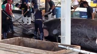 千葉県和田浦港ツチクジラ解体20130703