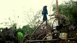 Bẫy Chòe Than ( cận cảnh con hàng lỗi Kỹ thuật) | Perangkap murai batubara | Bird trap
