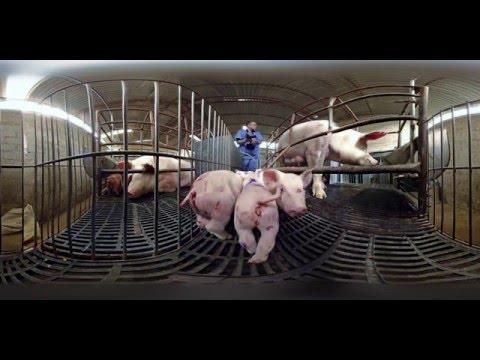 Durch die Augen eines Schweins - iAnimal 360° mit Thomas D