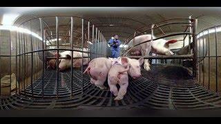 Durch die Augen eines Schweins - iAnimal 360° mit Thomas D thumbnail