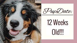 PUPDATE: 12 Week Old Bernese Mountain Dog   Diet, Energy, Teething, MONTAGE OF CUTENESS   Emma Bauer