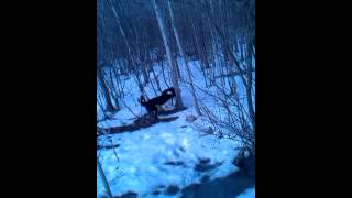sheltie and border collie running through winter forest