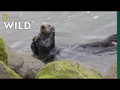 Sea Otters Open Mussels On Stone Anvils | Nat Geo Wild