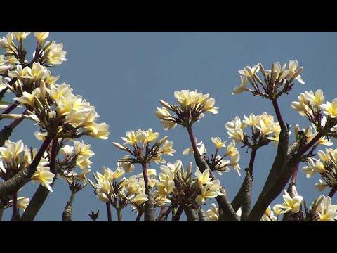 Plumeria world's most beloved garden plant