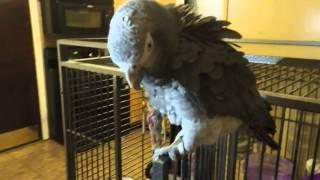 Dancing African Grey Parrot (Wushy) - Indian Music