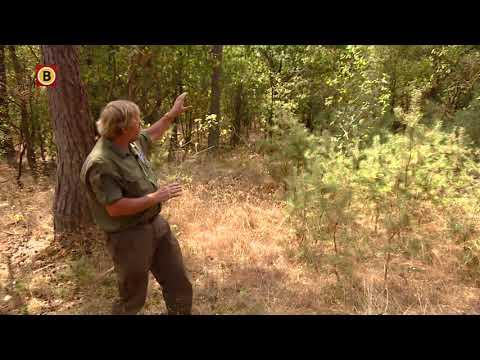 Herstel bos duurt tientallen jaren: boswachters Loonse en Drunense Duinen willen natuur een handj...