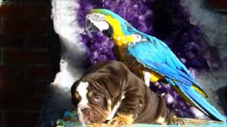 Cute English Bulldog Puppy Resse With Macaw Bird!
