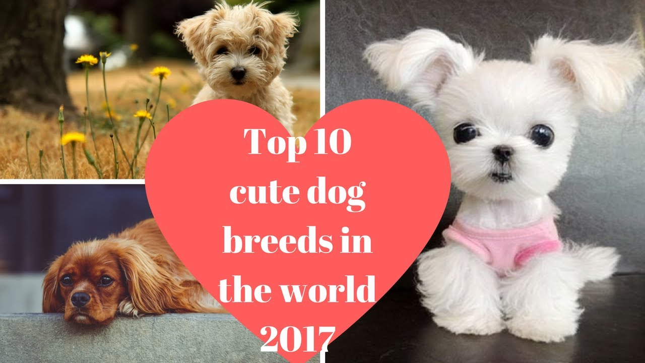 Top 10 Cute Dog Breeds In The World 2017 - YouTube
