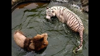 White Tiger vs Lion real Fight To Death - Wild Animals Attack