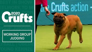 Working Group Judging | Crufts 2020