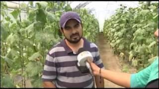 Incursionan en Tepeyanco con cultivo de pepino
