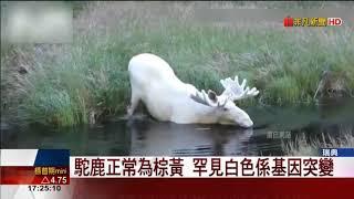 瑞典全白駝鹿現蹤 森林之王 象徵奇蹟與幸運!
