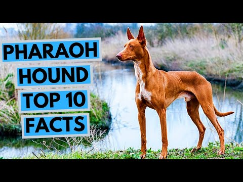 Pharaoh Hound - TOP 10 Interesting Facts