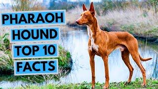 Pharaoh Hound  TOP 10 Interesting Facts