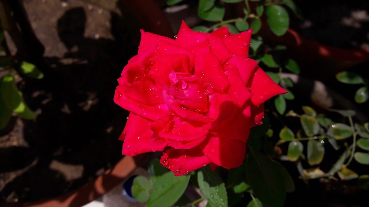 Best Potting Soil for Rose Plant || गुलाब की मिट्टी कैसे तैयार करें. Fun Gardening & Best Potting Soil for Rose Plant || गुलाब की मिट्टी ...