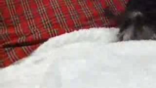 チャイクレ、パフ、ブラックタンの子犬 チャイクレの詳細はこちら http:...