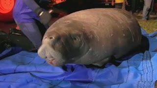 Manatees Rescued From Florida Storm Drain