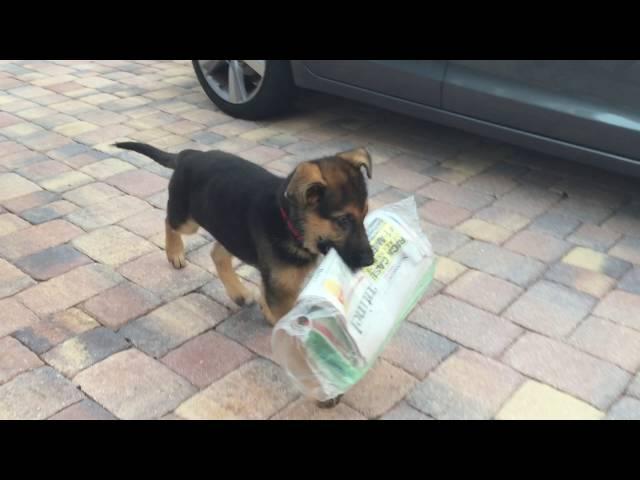 Puppy delivering newspaper —  struggles