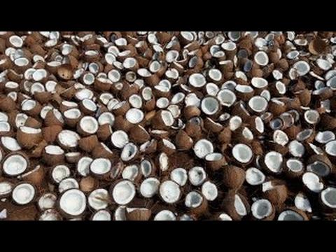 10000 Coconuts rupture pour faire l'huile de coco dans Mon Village Comment faire l'huile de coco
