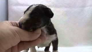 ミニチュアブルテリアの子犬.