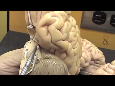 Cranial Nerves Human Model.mov