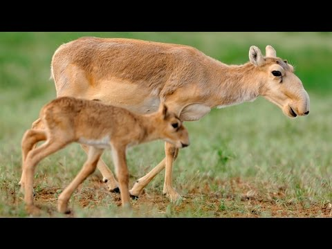 Why Did Half the World's Saiga Antelopes Die in Two Weeks?