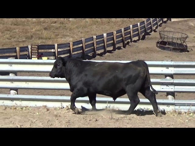 Connealy Angus Lot 181