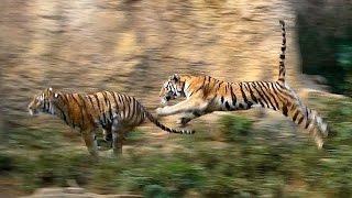 走るアムールトラ・シズカ親子(多摩動物公園2012)Siberian tiger parent and child Run thumbnail