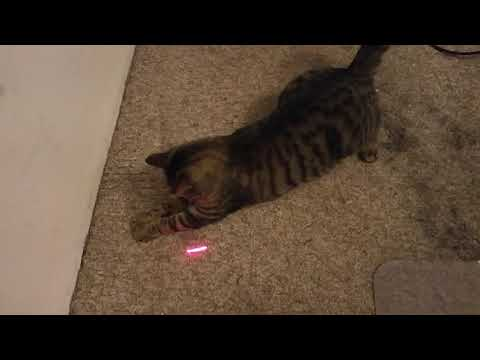 Digsby the cat chasing a laser and panting after