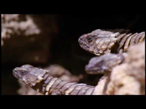 The Armadillo Lizard