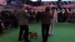 DFS Crufts 2010 - Best of Breed Norfolk Terrier
