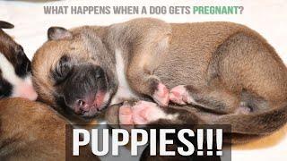 My Pregnant Rhodesian Ridgebacks gives birth  First Week Puppies + Washington State