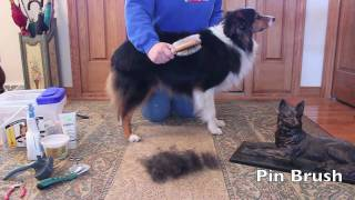 Grooming an Australian Shepherd