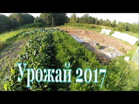 Урожай 2017 / Картофель, устойчивый к фитофторе