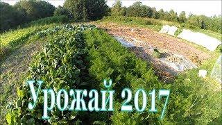 Урожай 2017 / Картофель, устойчивый к фитофторе(, 2017-08-20T20:29:28.000Z)