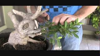 Ficus Microcarpa Bonsai