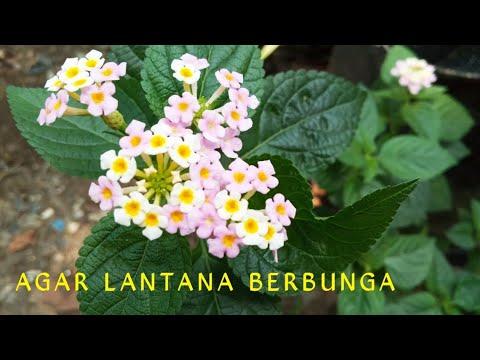Download AGAR LANTANA BERBUNGA.
